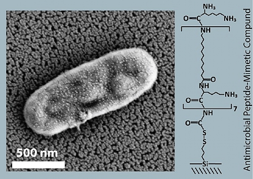 High-resolution scanning electron micrographs of the OAK-modified biosensor after incubation with E. coli bacterial lysate suspension: an intact cell is captured onto the nanostructure.