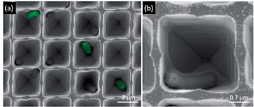 High-resolution scanning electron micrographs of the biosensor, demonstrating bacteria cells confined within the pores.